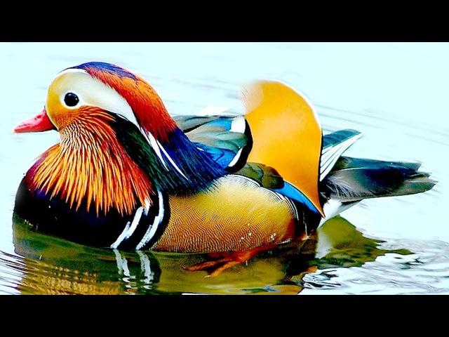 Птицы зоопарка очень красивая разноцветная утка мандаринка чистит своё оперен