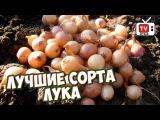 ЛУК СЕВОК видео обзор - урожайный сад и огород с Хитсад