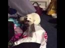 лиса смеется