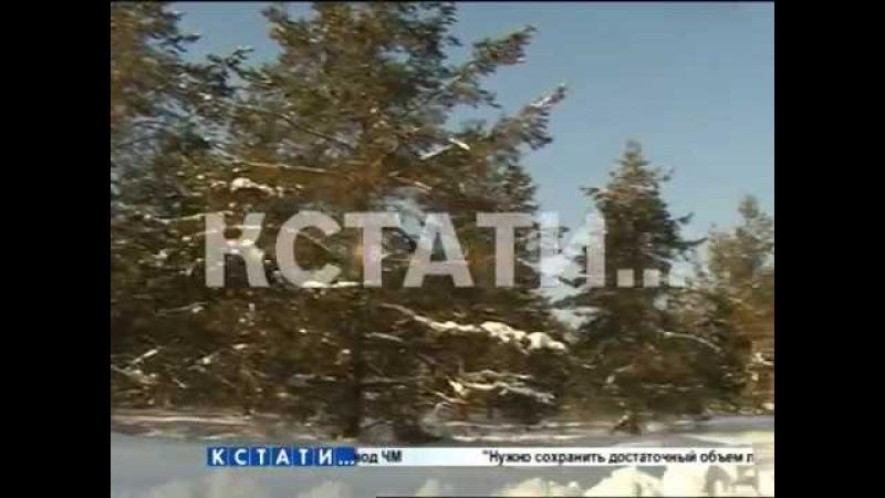 Сезон сбора шишек стартовал в нижегородских лесах