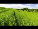 Сочи. Мацеста. Чайные плантации.