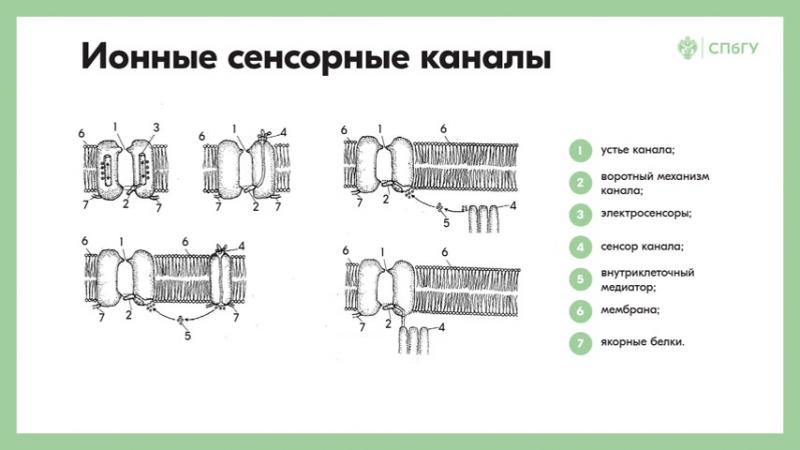 8.4 Основные механизмы функционирования периферического отдела сенсорных систем Электрические явления в рецепторах