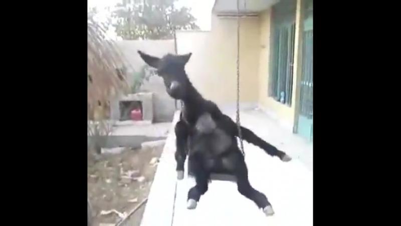 Аравай,вай!