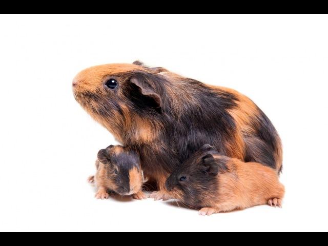 Морские свинки - как часто морские свинки могут размножаться