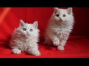 Selkirk rex kittens Avaliable