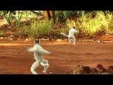 Dancing Sifaka - Berenty - Madagascar