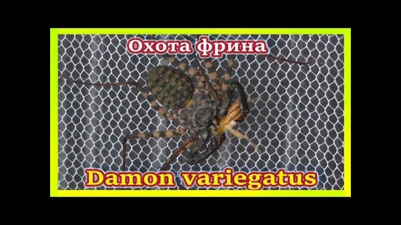 ФРИН ЖГУТОНОГИЙ ПАУК ОХОТИТСЯ НА СВЕРЧКА Damon variegatus