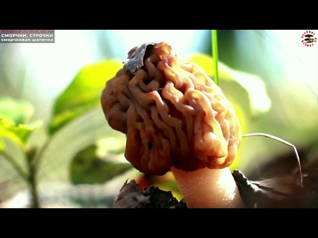 ПЕРВЫЕ ВЕСЕННИЕ ГРИБЫ (Москва, Лосиный Остров): сморчки, строчки, сморчковая шапочка » Freewka.com - Смотреть онлайн в хорощем качестве