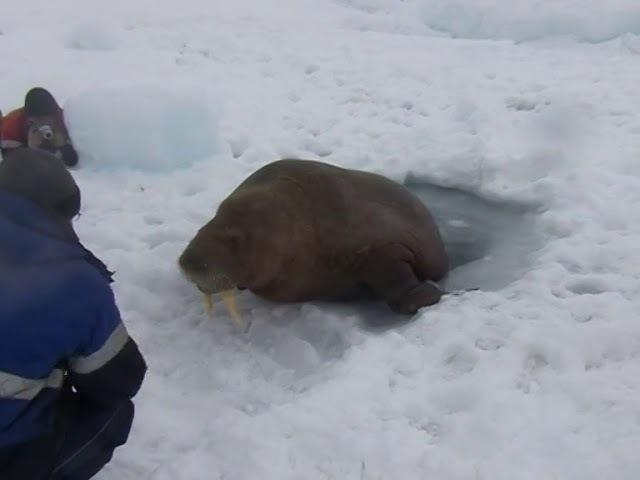 Любопытный морж помешал работе ямальских вахтовиков