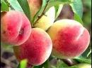 Технология выращивания персиков / От посадки саженца до сбора урожая