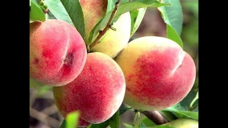 Технология выращивания персиков От посадки саженца до сбора урожая