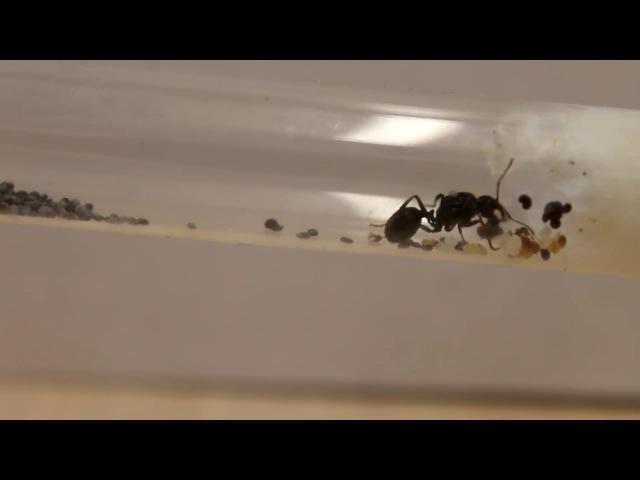 Обзор муравьёвMessor Structor.1