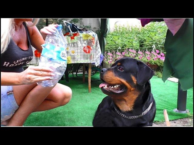 Игрушка для Абвера Кобель ротвейлера 1 год Toy for the Abwehr Rottweiler 1 year
