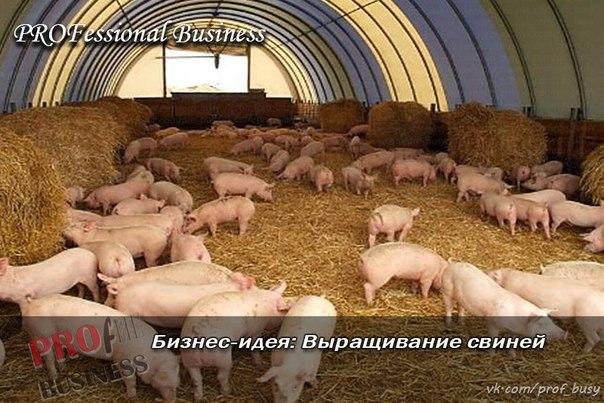 Рентабельность при выращивании свиней 892