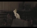 Попугай танцует.vk