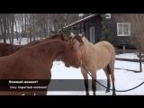 Знакомство новой лошади с Ваэрией и Кэмбриджем