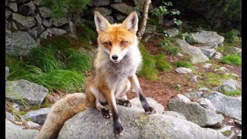 Wild fox from High Tatras 4K 60fps смотреть онлайн без регистрации