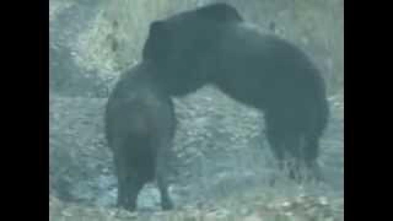 Медведь задрал кабана