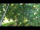 Яблоня Белый налив с яблоками