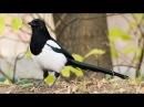 Умные птицы сороки строят гнездо
