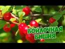 Войлочная вишня 🍏 Особенности ухода и выращивания 🍒Болезни войлочной вишни