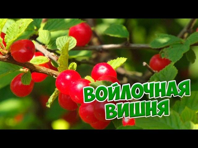 Войлочная вишня 🍏 Особенности ухода и выращивания 🍒Болезни войлочной вишни смотреть онлайн без регистрации