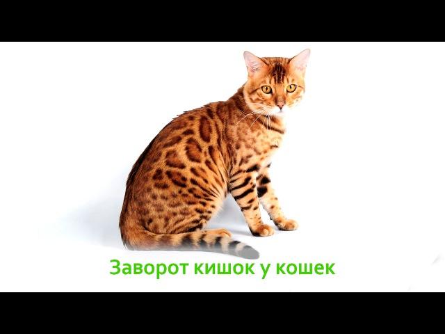 Заворот кишок у кошек
