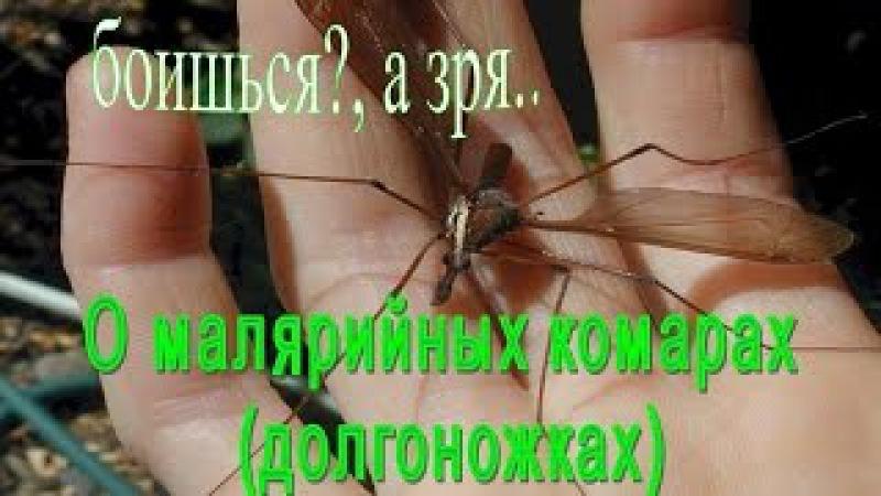 Малярийный комар Комар долгоножка Tipulidae youtu.be/qF_wuN_UEQA