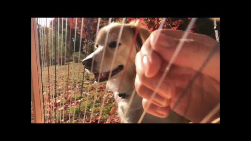 Play Guitar With Dog - I Can't Help Falling in Love With You By Elvis Presley on a Harp