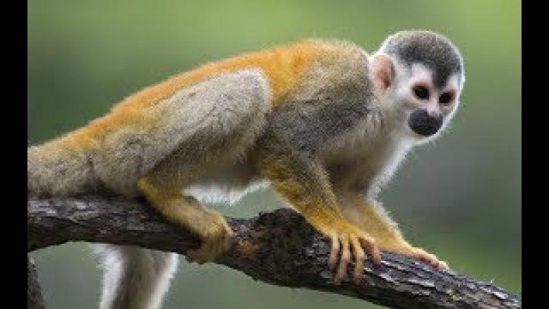 El Mono Ardilla vive en los bosques tropicales