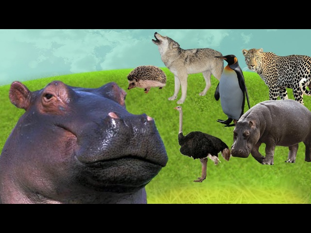 HELP THE HIPPO FIND MOM. Wild Animals Baby Find Mom. Learn Animals Names and Sounds for Kids