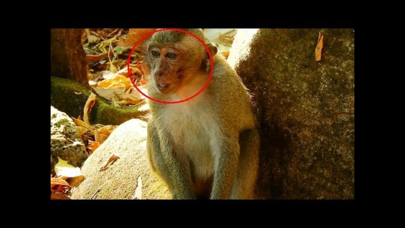 He Cry Loudly Because Mom Busy Take Care Newborn Baby Monkey