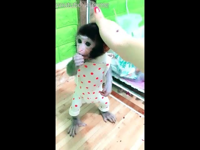 Two pocket monkeys are snatching water,the smaller one is too poor Funny monkey video 2017