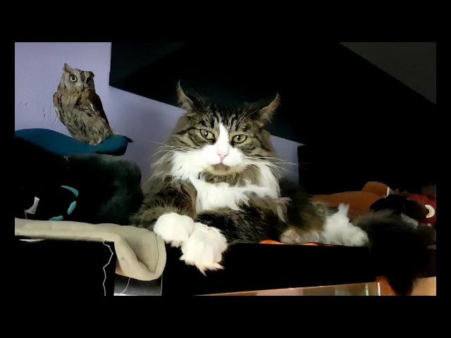Сова сплюшка Ыть и кот Мурлок. Тлен в глазах кота.