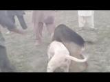 Гуль донг VS дворняга Собачьи бои