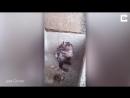 Житель Перу снял на видео крысу, которая намыливалась мылом