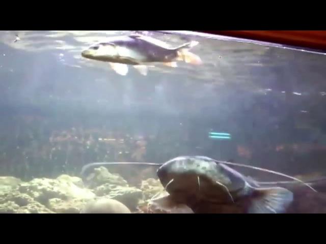 Сом охотится в аквариуме прикол интересное видео сом ест рыбу