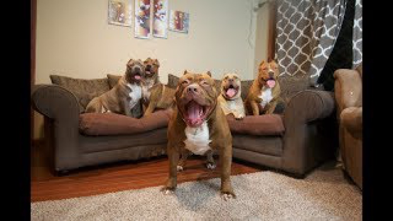 Best of WORLD FAMOUS GIANT FAMILY PIT BULL