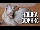 Кошки сфинксы интересные факты