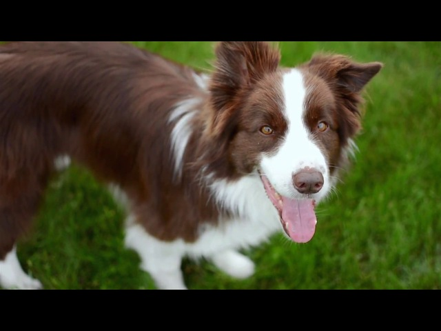 Border Collie Floyd incredible frisbee tricks