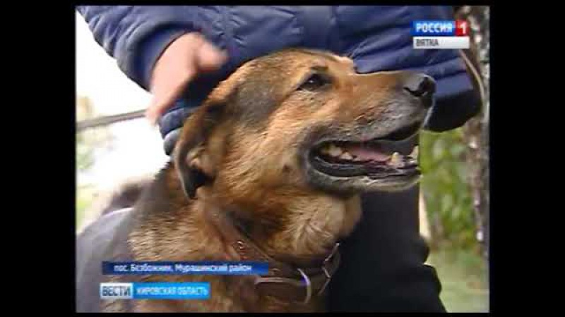 В поселке Безбожник местные жители спасают от волков домашних собак(ГТРК Вятка)