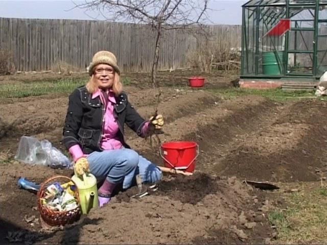 Сад Серия 141 Высаживаем в грунт саженцы красной и черной смородины