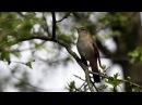 Божественное пение соловья 10 часов Соловьиные трели Звуки природы