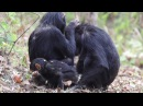 Common chimpanzee / Обыкновенный шимпанзе / Pan troglodytes