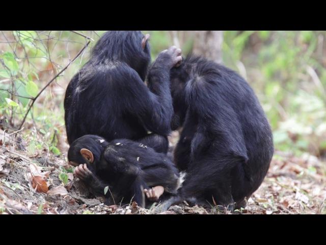 Common chimpanzee Обыкновенный шимпанзе Pan troglodytes