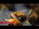 Есть Вопрос! Как пчёлы делают мед?