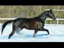 Ахалтекинский жеребец Севан Шаэль/Akhal-teke stallion Sevan Shael