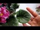ПОКУСАНЫ листья фиалок ПО КОЛОТЫ как иголкой Клещ плоскотелка