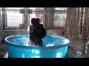 Зажигательный танец гориллы в бассейне. Горилла танцует в бассейне.