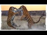 Битва двух тигров